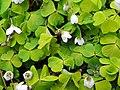 Wood-sorrel (Oxalis acetosella), Coppice Hoop, Penn (27261164894).jpg