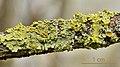 Xanthoria parietina - Common orange lichen - Gewöhnliche Gelbflechte - 04.jpg