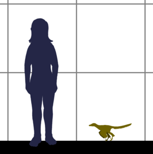 Xiaotingia - Size of Xiaotingia
