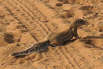 Cape ground squirrel - Image: Xurus 2