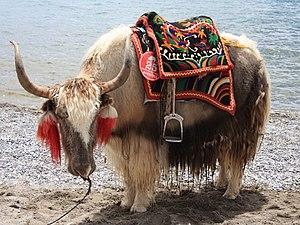 Etxekoratutako Yak bat Nepalen
