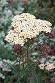 Yarrow (Achilea millefolium), Parliament Gardens,Victoria Australia (4705474853).jpg