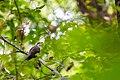 Yellow-billed cuckoo (23586746948).jpg