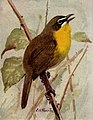Yellow-breasted Chat NGM-v31-p305-C.jpg