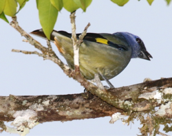 Yellow-winged Tanager.tif