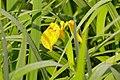 Yellow Iris (Iris pseudacorus) (25933163730).jpg