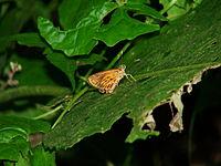 Pyroneura