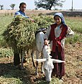 Young boy and girl harvest farm crops in Egypt.jpg