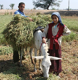 Fellah - Children harvesting crops