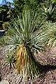 Yucca baileyi kz01.jpg