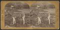 Zebra, by Seaver, C. (Charles).png