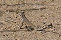 Zebra-tailed Lizard Sweetwater Wetlands Tucson AZ 2017-04-21 08-59-33-2 (34323351965).jpg