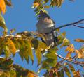 Zenaida asiatica (paloma aliblanca) nogal día nevado.png