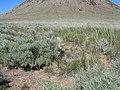 Zigadenus paniculatus and Artemisia tripartita (5802270731).jpg