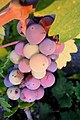 Zinfandel Grapes going through veraison.jpg