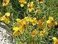 Zinnia grandiflora 1.jpg
