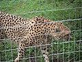 Zoo de Lunaret - Guépard - P1600253.jpg