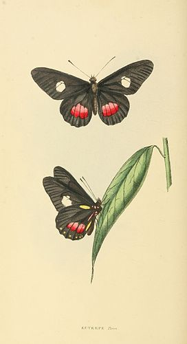 Zoological Illustrations Volume II Series 2 074.jpg