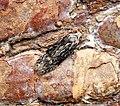 (0772) Carpatolechia fugitivella (35736399002).jpg