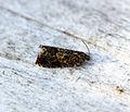 (1216) Enarmonia formosana (18763317253).jpg