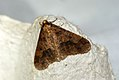 (1935) Mottled Umber (Erannis defoliaria) (4036891626).jpg