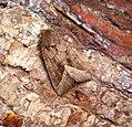 (2361) Rosy Rustic (Hydraecia micacea) (36963976231).jpg