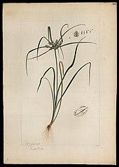 (Cyperaceae)