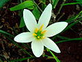 (Zephyranthes candida) White Ginger Lily 02.jpg