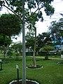 Árbol de Huito en el Jardín Botánico de Lima.jpg