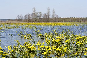 Caltha palustris - The marsh-marigold on spring flood plains of the Narew river.