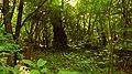 Вековно дърво , с. Фазаново.JPG