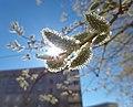 Весна, ива в цвету - panoramio (2).jpg