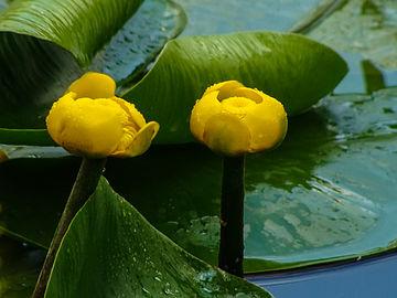 Жолт локван (Nuphar Luteum) 02.jpg