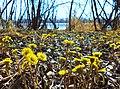 Первые весенние цветы. - panoramio.jpg