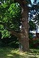 Перунів дуб DSC 0142.jpg