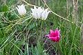 Тюльпаны в оренбургских степях 2.jpg