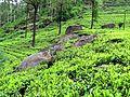 Чайные плантации - panoramio.jpg