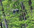 Чапля сіра (Ardea cinerea) у лісових вооймах.jpg
