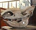 Череп ископаемого бизона. Schädel des fossilen Bisons 2H1A0288WI.jpg