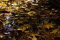 برگ روی برکه- پاییز-Floating leaves fallen from trees-ponds 01.jpg