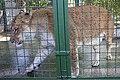 شیر در باغ وحش مشهد-lion in zoo -iran 02.jpg