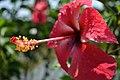 জবা ফুল, Hibiscus rosa-sinensis.jpg