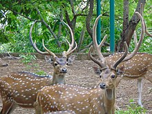 'Spoted Deer of Kuruvampatti Zoo'.jpg