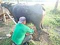 カラバオの搾乳の様子.jpg