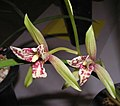 四季文漢 Cymbidium ensifolium 'Wen-Han' -香港沙田國蘭展 Shatin Orchid Show, Hong Kong- (12167967734).jpg