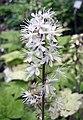 惠利氏黄水枝 Tiarella wherryi -比利時 Ghent University Botanical Garden, Belgium- (9227098561).jpg
