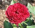 月季 Rosa Tommas Campanella -深圳人民公園 Shenzhen Renmin Park, China- (28956687508).jpg