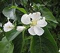朝鮮山荊子 Malus baccata v jackii -巴黎植物園 Jardin des Plantes, Paris- (9227097029).jpg