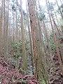 杉の人工林.jpg