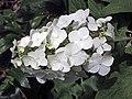 櫟葉繡球花 Hydrangea quercifolia -英格蘭 Wisley Gardens, England- (9227119027).jpg